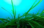 Estratto di Posidonia oceanica nella nuova linea Posidonia viso by Maressentia